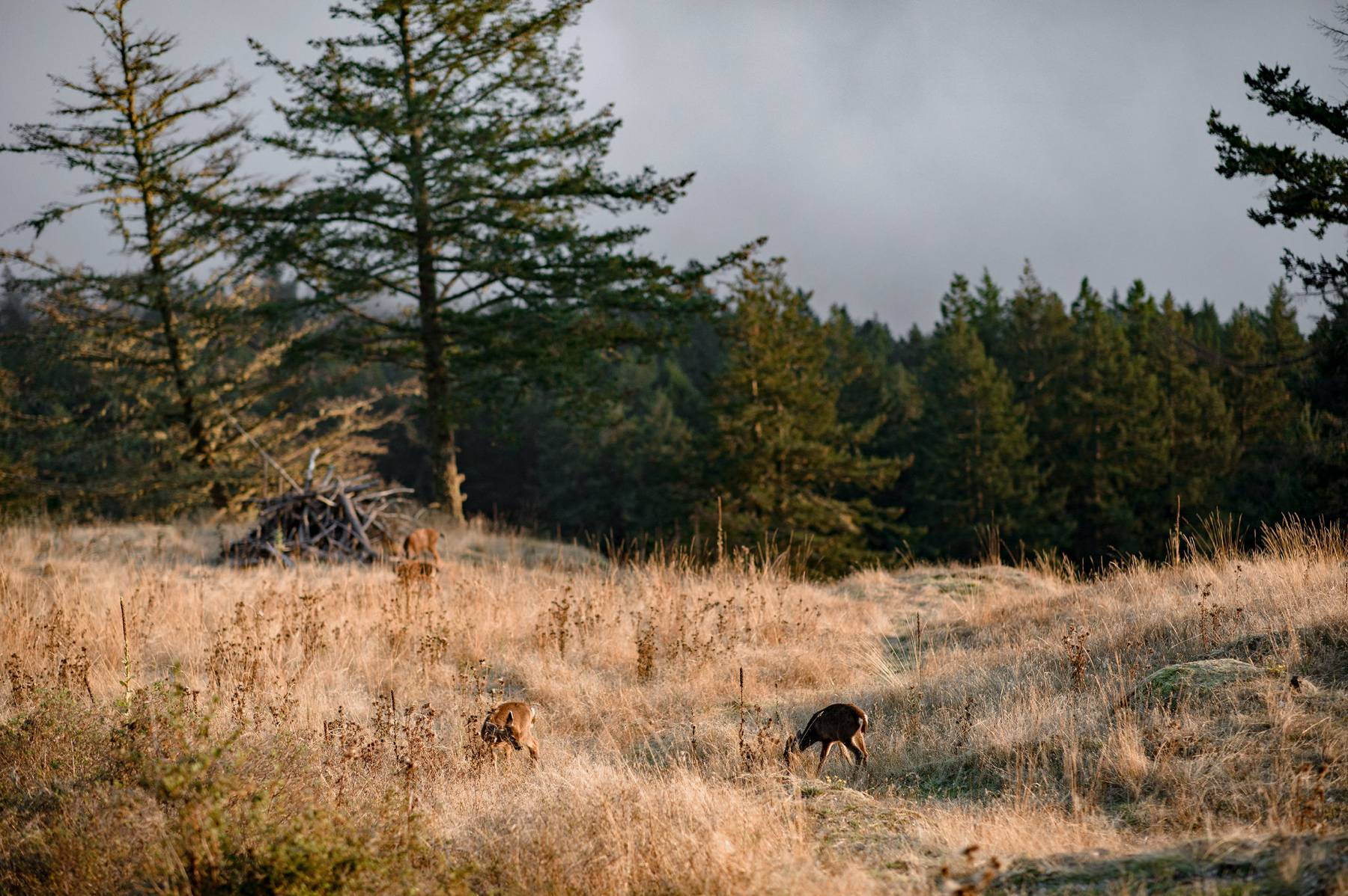 deer at mount constitution orcas island
